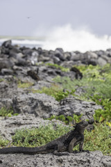 Galapagos Marine Iguana sitting on rock at San Cristobal coast, wave ich background, Galapagos Islands