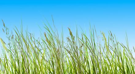 gras, gräser vor blauem himmel Wall mural