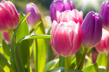 In de dag Tulp Pink and violet tulips growing outdoors