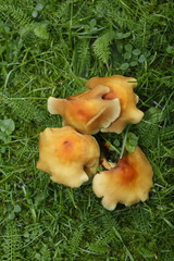 Braune Pilze auf einer Wiese