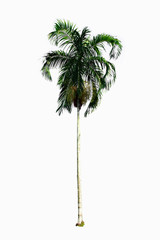 Palm plant tree on white background
