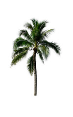 Palm plant tree or coconut tree on white isolate background