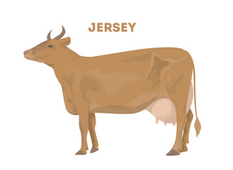 Isolated jersey cow.