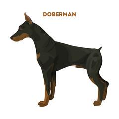 Isolated doberman dog.