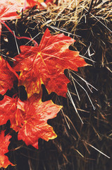 Decoration with red maple leaves and hay
