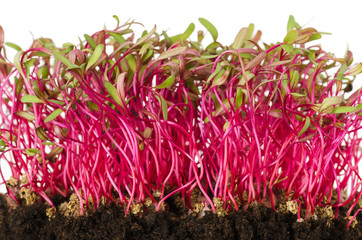 Red beetroot, fresh sprouts and young leaves front view over white. Vegetable, herb and microgreen. Also beet, table, garden or red beet. Cotyledons of Beta vulgaris in potting compost. Macro photo.