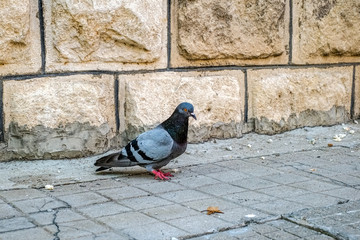 An injured pigeon feeding on the square