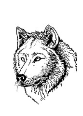 Graphical silhouette of wolf isolated on black background,vector sketch