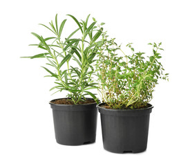Green rosemary and thyme in pots on white background
