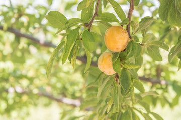 Yellow plums and green leaves on branch in orchard