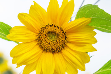Closeup of vibrant, yellow sunflower