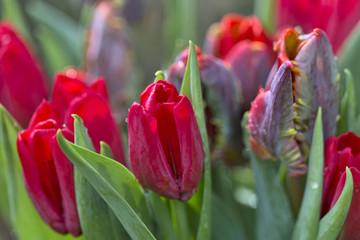 Blumenstrauß mit roten Tulpen