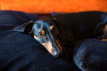 black brown dog dachshund lie on his pillow