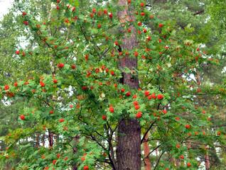 Red rowan berries on tree.