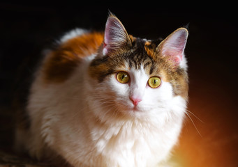 Portrait of a Beautiful Calico Cat With Big Yellow Eyes