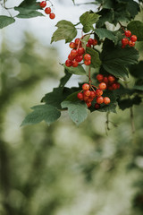 Fresh bunches of red currants growing on a bush
