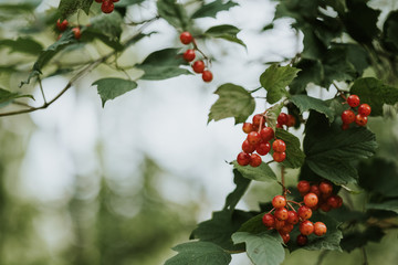 Clusters of red currants growing on a bush