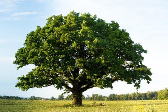 Lonely green oak tree in the field