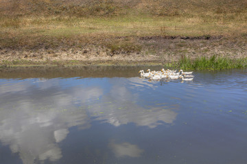 Domestic geese in the pond