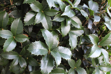 Holly leaves background texture, horizontal aspect