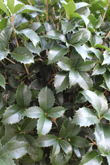 Holly leaves background showing new growth