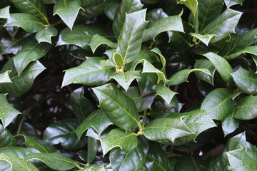 Background of holly leaves with dew, horizontal aspect