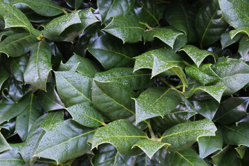 Holly leaves texture with dew, horizontal aspect