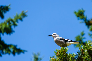 Clark's nutcracker on the green tree in British Columbia Canada.