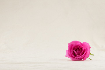 Pink rose from side view with copy space