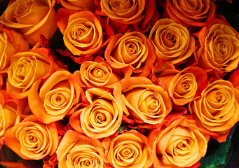 Fototapete - close up on fresh orange rose