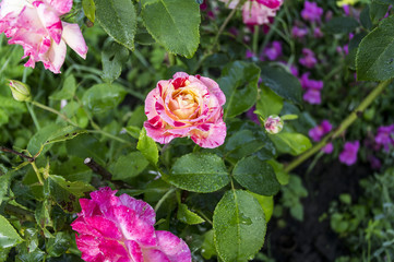 Red white violet garden roses, a picture on a fully open dagger, the background is blurred.
