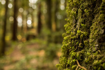 Closeup of moss growing on a tree in a redwood forest in California
