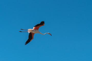 Greater Flamingo, pink bird flying in blue sky