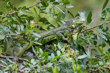 Ein wilder Leguan sitzt in einem Baum in Guatemala Stadt