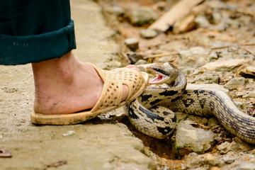 Asian Cobra tries to bite a human leg