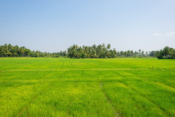 Papiers peints Vert chaux Big plain with paddy fields approx 30km far from the sea, upcountry in the southern Province of Sri Lanka. The rice cultivation is fed from big water reservoir in the village Weeraketiya