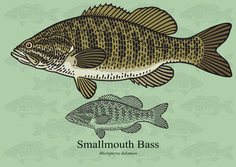 Smallmouth Bass. Vector illustration for artwork in small sizes. Suitable for graphic and packaging design, educational examples, web, etc.