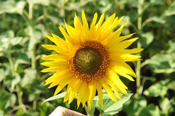 Sunflower closeup in a field