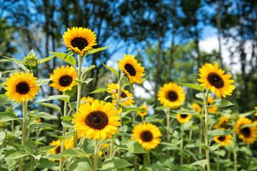 Beautiful field of sunflowers in the garden