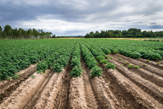 Large potato field with plants in nice straight rows