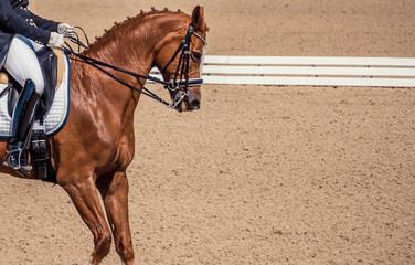 Sorrel horse portrait during dressage competition. Dressage chestnut horse, advanced dressage test.