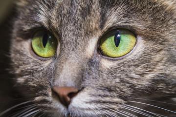 Green eyes of a cat, macro