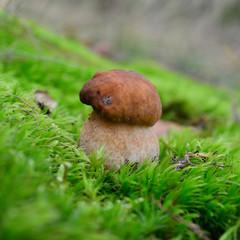 boletus reticulatus mushroom