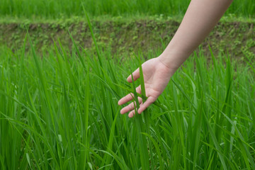The hands that caresses the tip, rice is being started in a green farm.