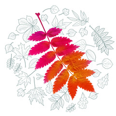 Realistic autumnal leaf of Rowan bright red color. Background with leaves of various trees drawn by outlines. Vector illustration.