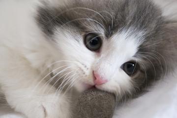 子猫 ノルウェージャンフォレストキャット