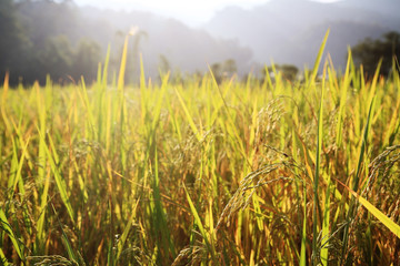paddy rice with rays light