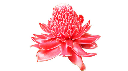 Beautiful red pink blossom torch Ginger local flower isolated on white background.
