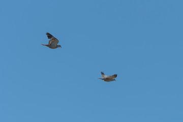 Wood pigeons, turtledoves flying in blue sky