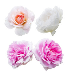 Set of four beautiful roses isolated on white background for your card or design